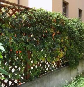 passiflore coerulea frutti