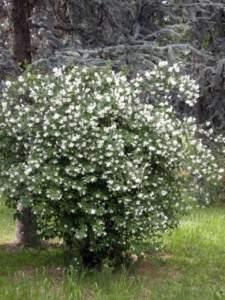 fior d'angelo philadelphus