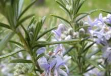 aromatiche rosmarino fiori