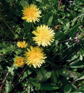 erbe di campo tarassaco