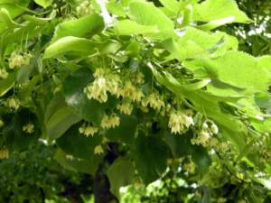 fiori profumati tiglio