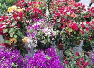 buganvillea varietà diverse
