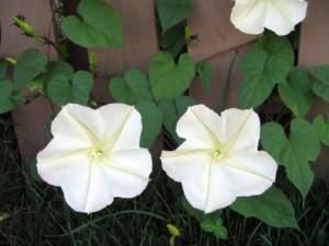 fiori di mattina di sera ipomoea alba