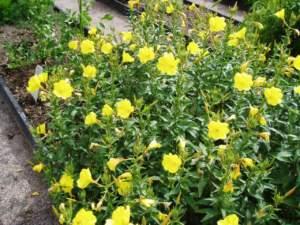 fiori di mattina di sera oenothera biennis
