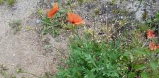 papavero rhoeas