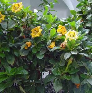 fiori tropicali solandra