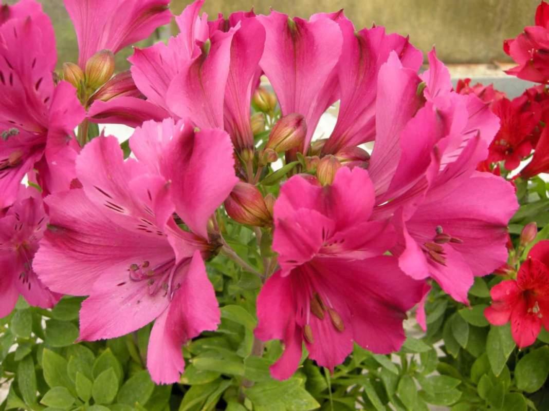 alstroemeria fiori rossi