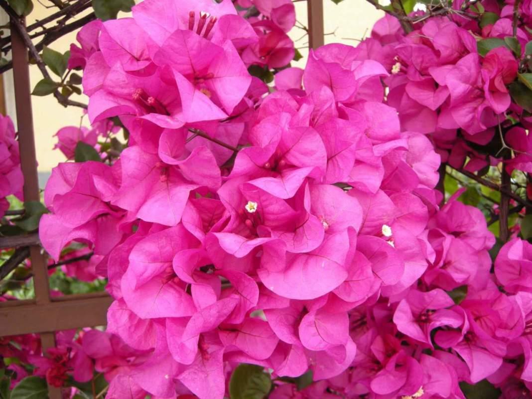 buganvillea fiori viola-fucsia