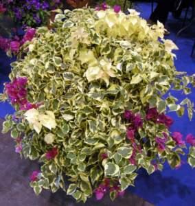buganvillea foglia variegata