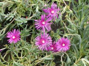 fiori di mattina di sera delosperma cooperi