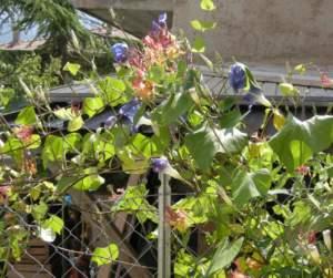 fiori di mattina di sera ipomoea richiusa