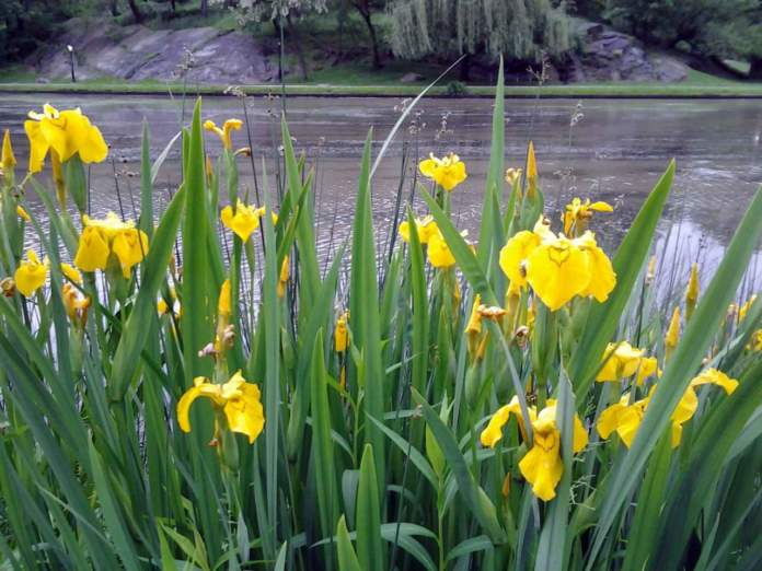 laghetto iris pseudacorus