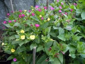 fiori di mattina di sera mirabilis jalapa