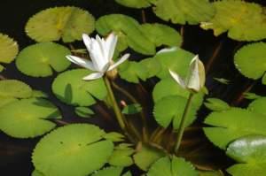 fiori di mattina di sera nymphaea lotus