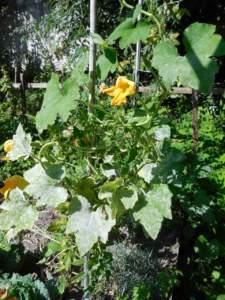 malattie fungine orto oidio cetriolo