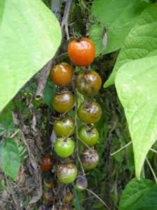 malattie fungine orto; peronospora pomodori ciliegini