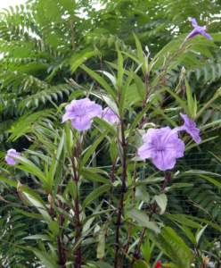 fiori di mattina di sera ruellia grandiflora