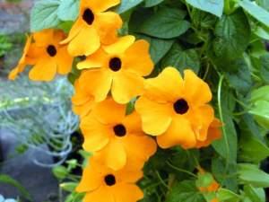 fiori tropicali; Thunbergia alata fiori
