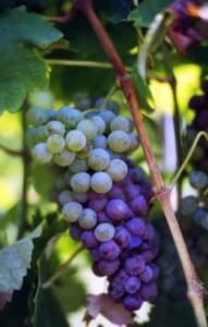 malattie fungine orto; botrite muffa grigia su grappolo uva