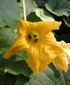 fiori di mattina di sera zucchino