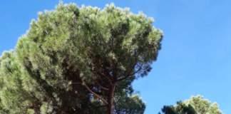 pini pinus pinea