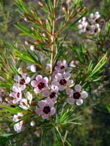 piante australiane chamelaucium
