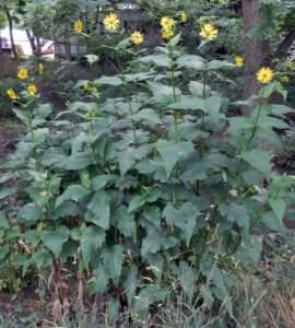 piante gigantesche Silphium perfoliatum