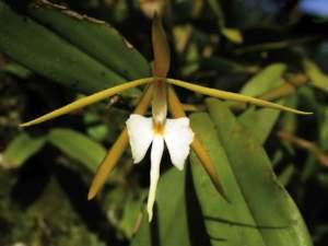 fiori sera Epidendrum nocturnum