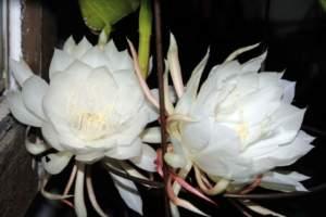 fiori sera Epiphyllum oxypetalum