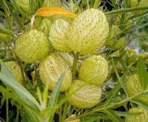 Apocynacee Gomphocarpus fruticosus
