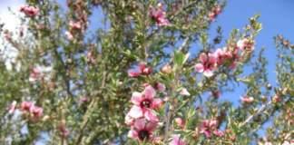 piante australiane leptospermum