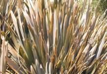 piante gigantesche Phormium tenax
