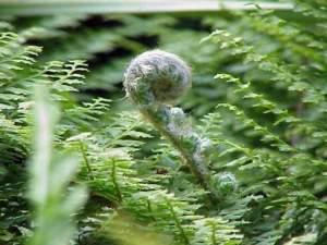 piante gigantesche Polystichum setiferum
