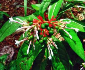 Apocynacee Rauwolfia serpentina