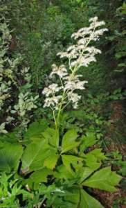 piante gigantesche Rodgersia podophylla