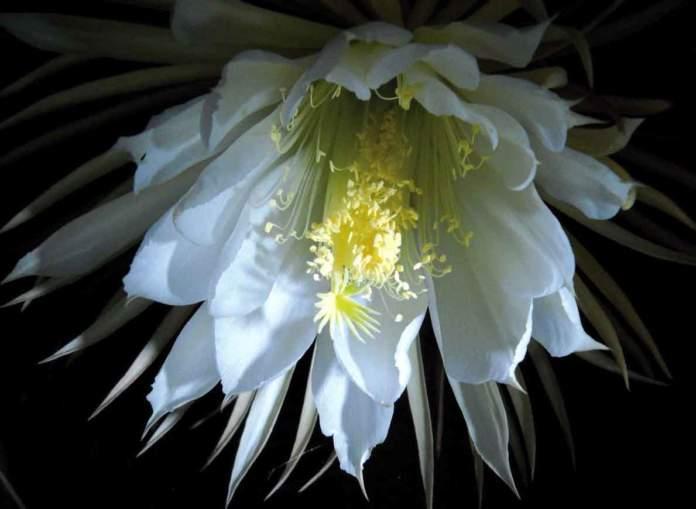 fiori sera Selenicereus