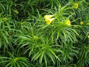 Apocynacee Thevetia peruviana