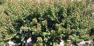 potatura verde albicocco