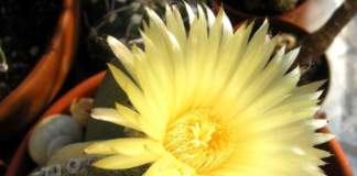 grassa non fiorisce astrophytum myriostigma