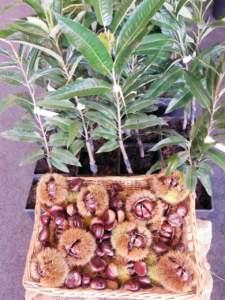 castagneto piante