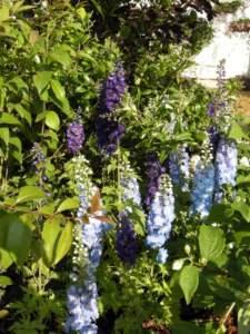 piante velenose delphinium