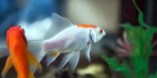 acquaponica pesci