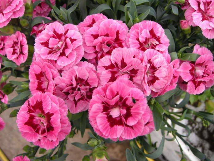 garofano dianthus rosa