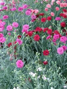 garofano dianthus rosso rosa