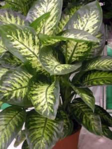 piante velenose dieffenbachia