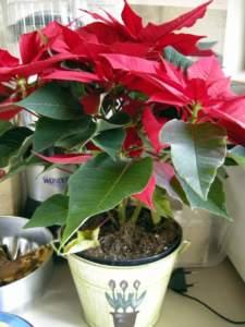 piante velenose stella di Natale
