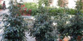 piante velenose ficus benjamina