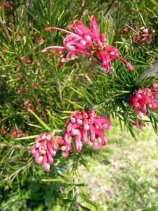 piante australiane grevillea