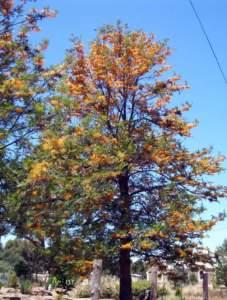 piante australiane grevillea robusta