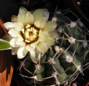 grassa non fiorisce gymnocalycium ragonesi